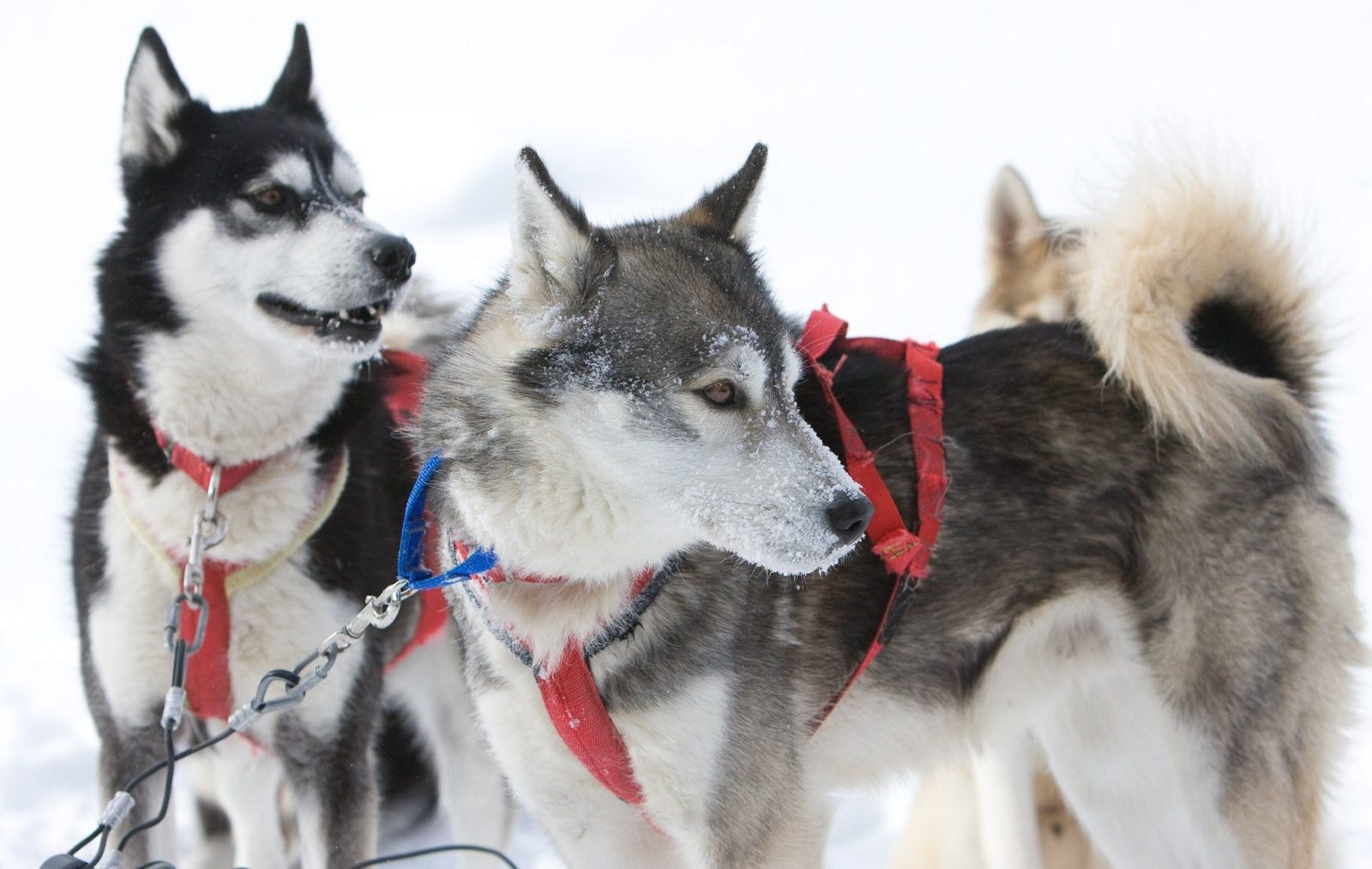 Huskies ready to run and pull their sled in Haliburton